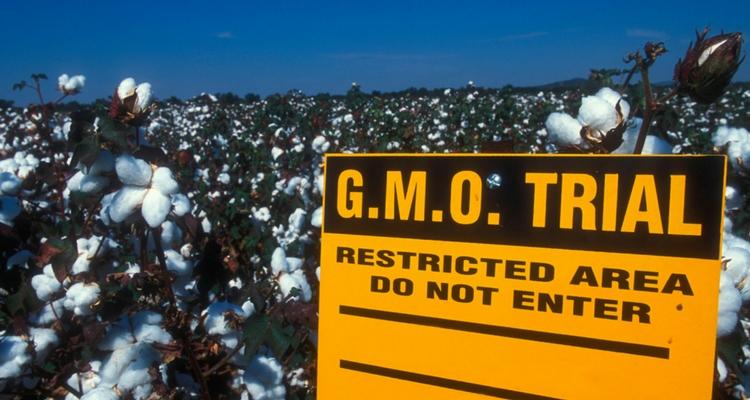 Cultură de bumbac modificat genetic