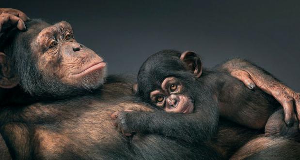 maimutele-bonopo