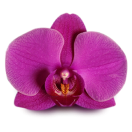 RED-ORCHID